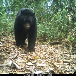 An Andean bear is photographed by a camera trap set up by the WebConserva Foundation in San Lucas, Colombia September 22, 2018. Picture taken September 22, 2018. WebConserva Foundation/Handout via REUTERS