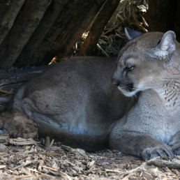 A newly-born baby puma sleeps next to her mother Maeli at Paris Zoological Park in the Bois de Vincennes, France, August 26, 2020. REUTERS/Charles Platiau