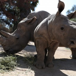 Atanasio, a white rhino calf, stands next to his mother Hanna at the 'Buin Zoo' which is looking for sponsors to funds for food, maintenance and veterinary controls for its animals due the lockdown, during the coronavirus disease (COVID-19) outbreak, in Buin, Santiago, Chile September 9, 2020. REUTERS/Ivan Alvarado